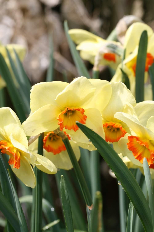 Narcissus ' Sunapee'