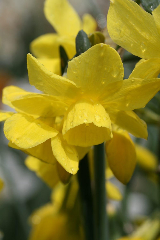 Narcissus 'Sunlight Sensation'