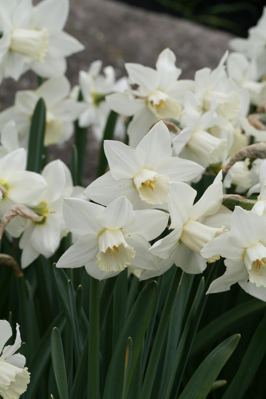 Narcissus 'White Plum'