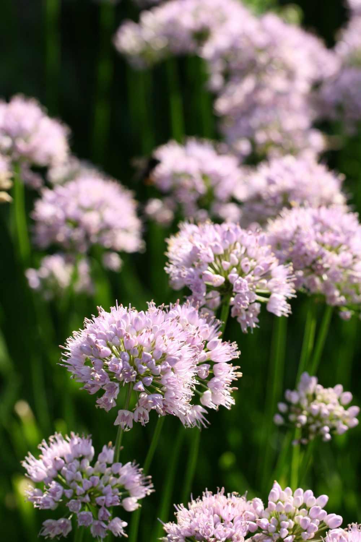 Allium ' Summer Beauty '