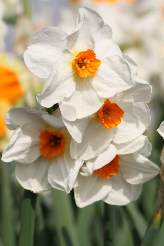 Narcissus ' Cragford '