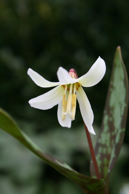 Erythronium caucasicum